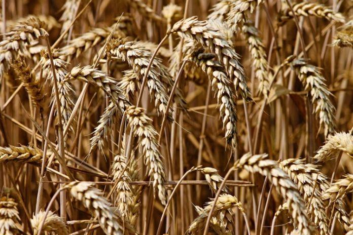 gandum siap panen